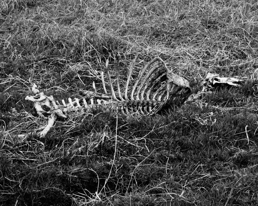 Sheep Skeleton Close-up