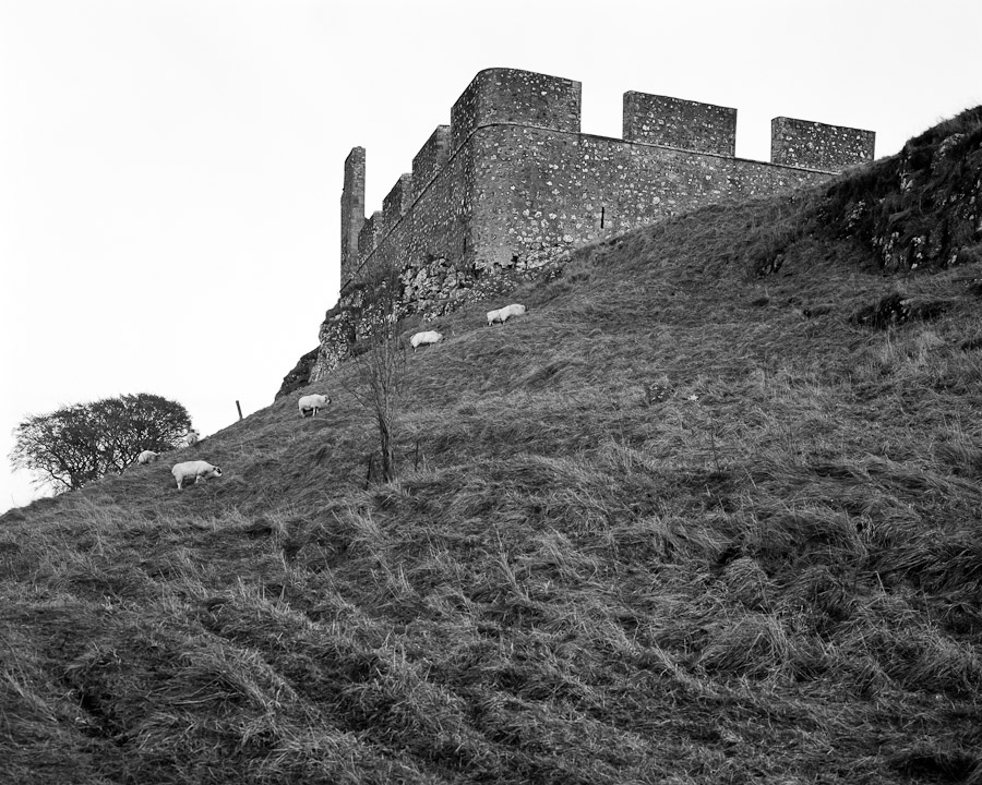 Hume Castle and Sheep